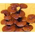 Reshi Mantarı Extractı Tozu (Ganoderma)